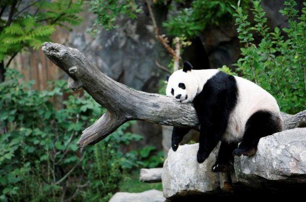 Бременността на гигантската панда носи радост в САЩ