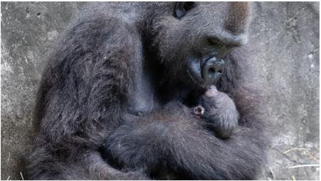 (ВИДЕО) Бебе горила от застрашен вид се роди в зоопарка в Ню Орлиънс