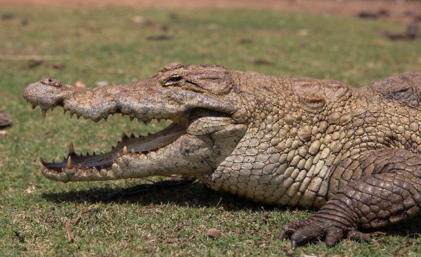 Отново е забелязан крокодил в река в Германия