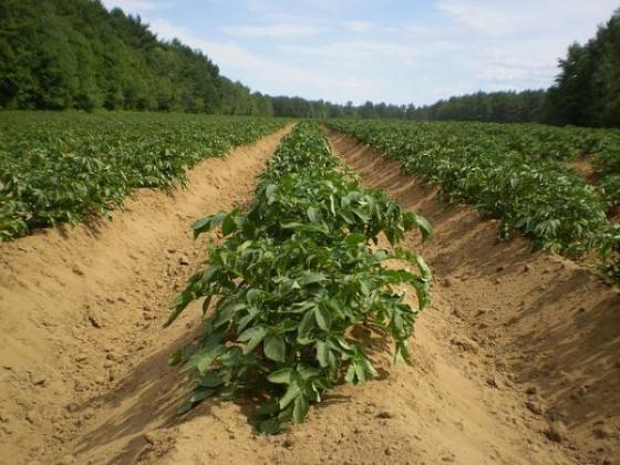 Производителят на картофи Джиков с контрапозиция за помощта на държавата през 2020 г.