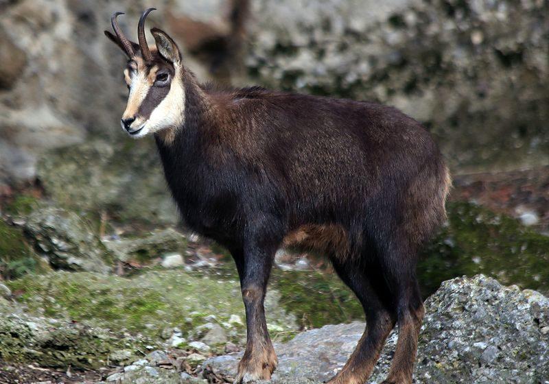 """Проверяват дали в парк """"Пирин"""" са избити диви кози"""